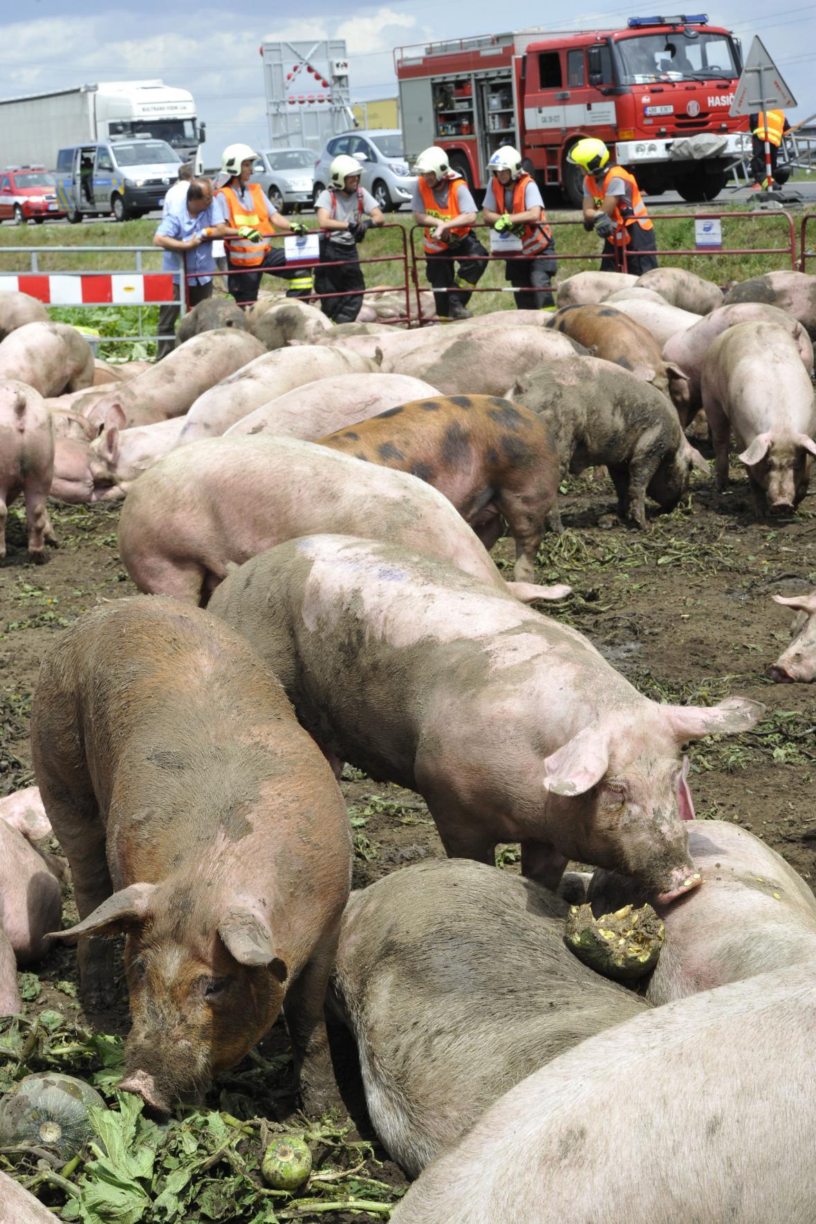 Nehoda kamionu převážejícího prasata