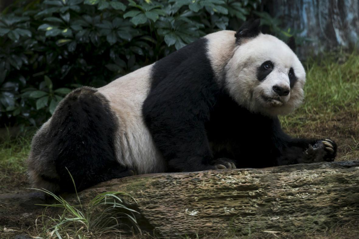 Ťia-ťia se může stát nejdéle žijící pandou v historii