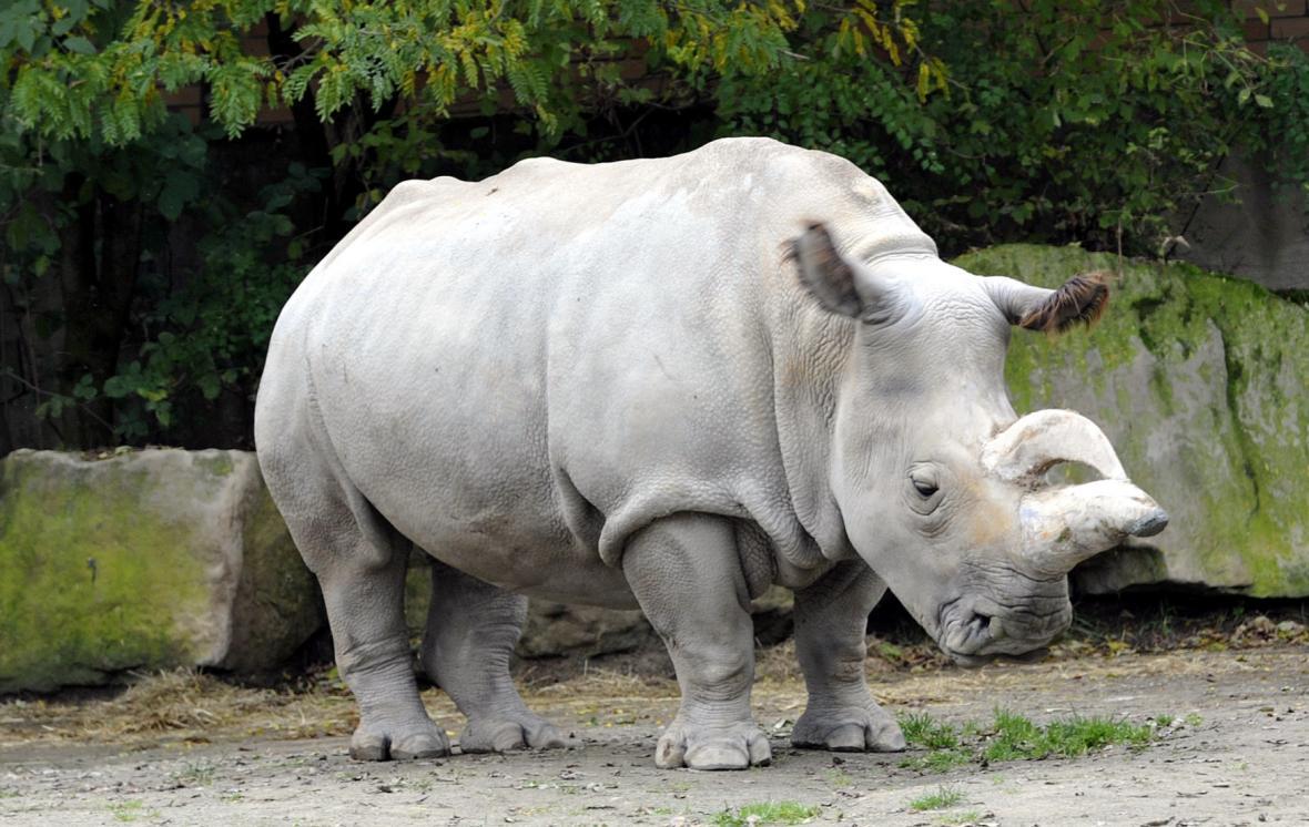 Výsledek obrázku pro nosorožec bílý
