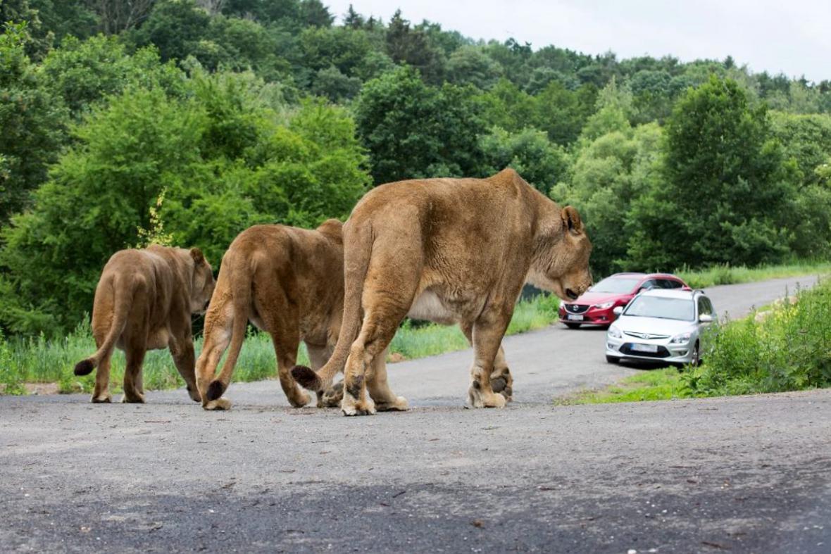 Lví safari v ZOO Dvůr Králové