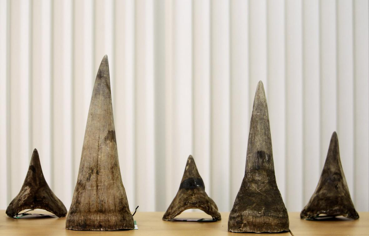 Celní správou ČR zabavené rohy nosorožců v odhalené kauze jejich pašování z ledna 2013