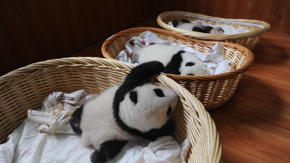 V Číně se představilo deset pandích mláďat