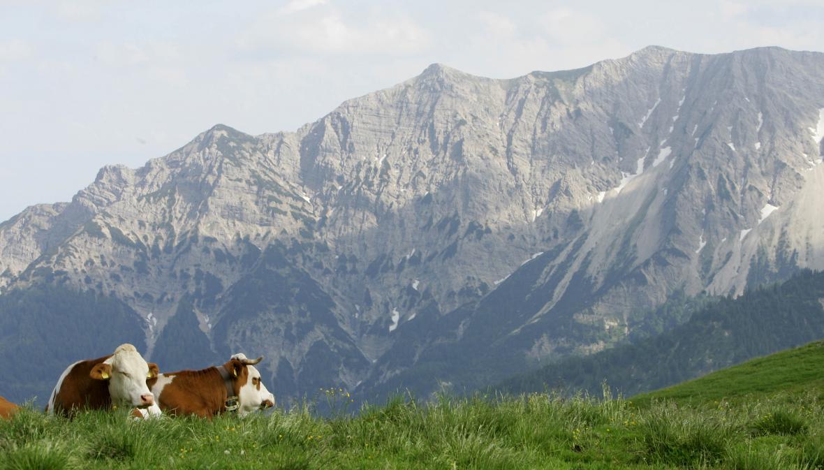 Kravky si bavorských pastvin užily - teď hajdy domů