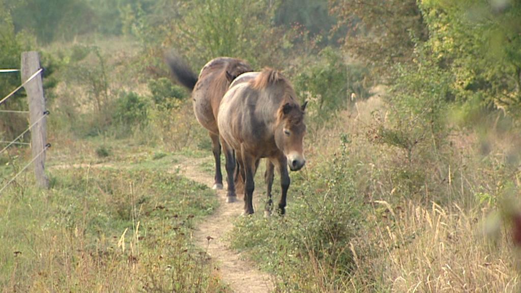 Koně ve vojenském areálu u Milovic