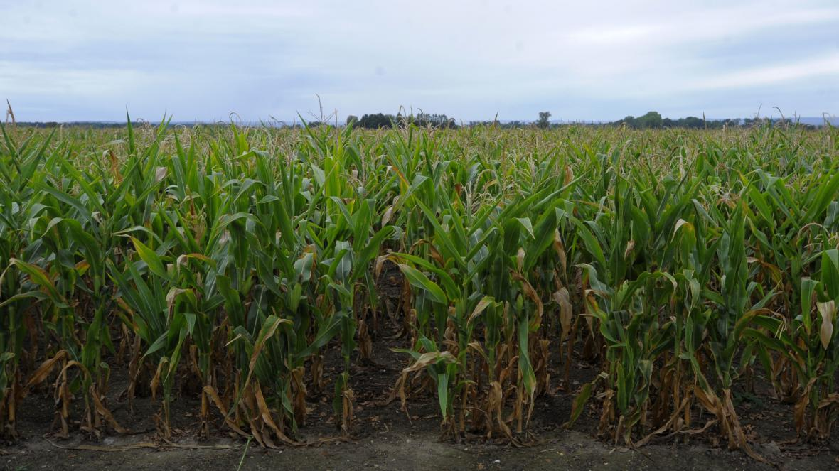 Úroda kukuřice
