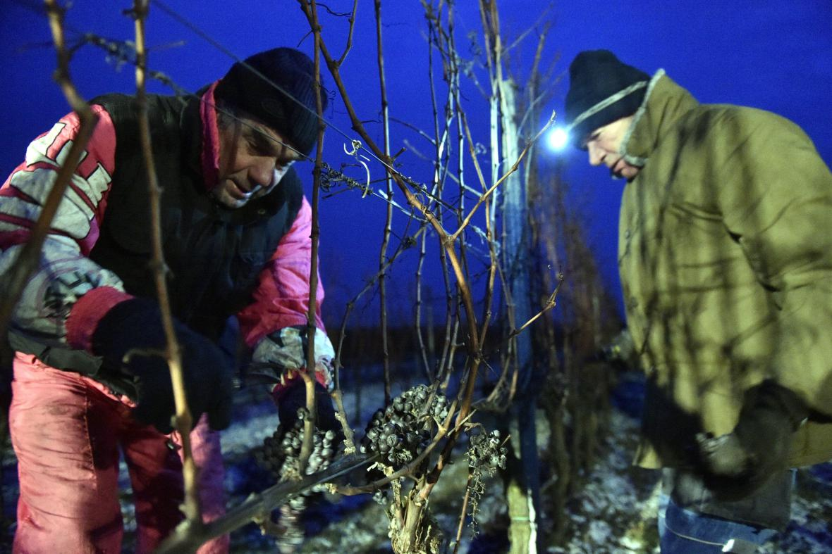 Sběr ledové vína začal v brzkých hodinách