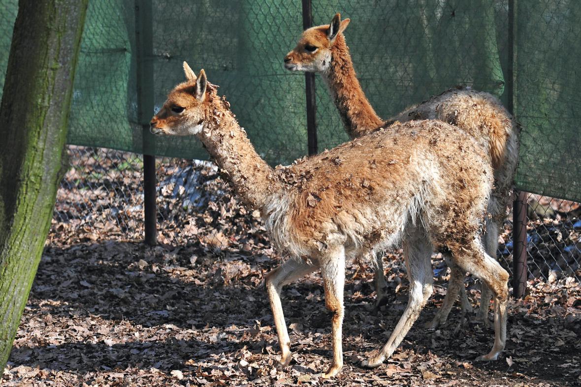 Lamy druhu vikuňa (ilustrační foto)