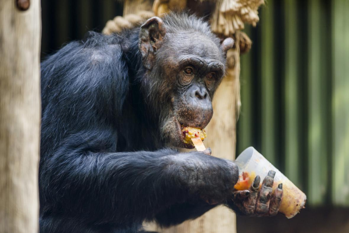Šimpanzi v zoo ve Dvoře Králové dostali na osvěžení zmraženou ovocnou směs