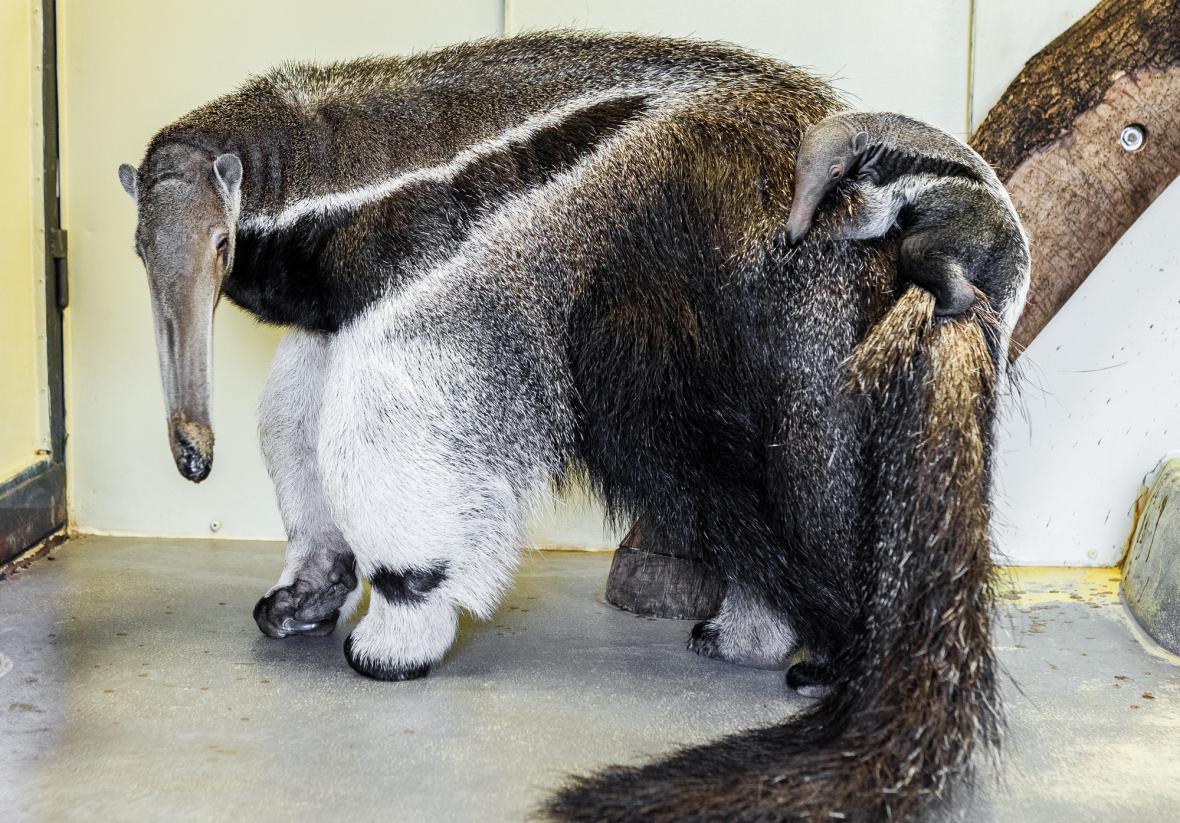 Mládě mravenečníka v Zoo Praha