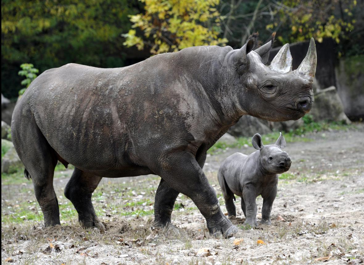 Mládě nosorožce černého neboli dvourohého v královédvorské zoo