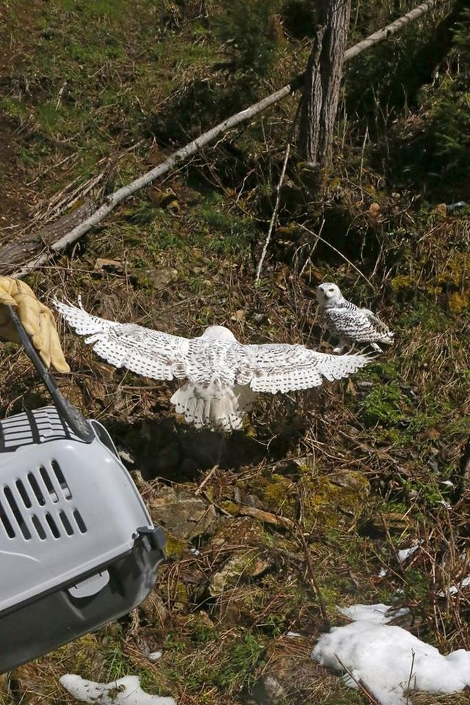 Vypouštění sov do voliér v Borových Ladách