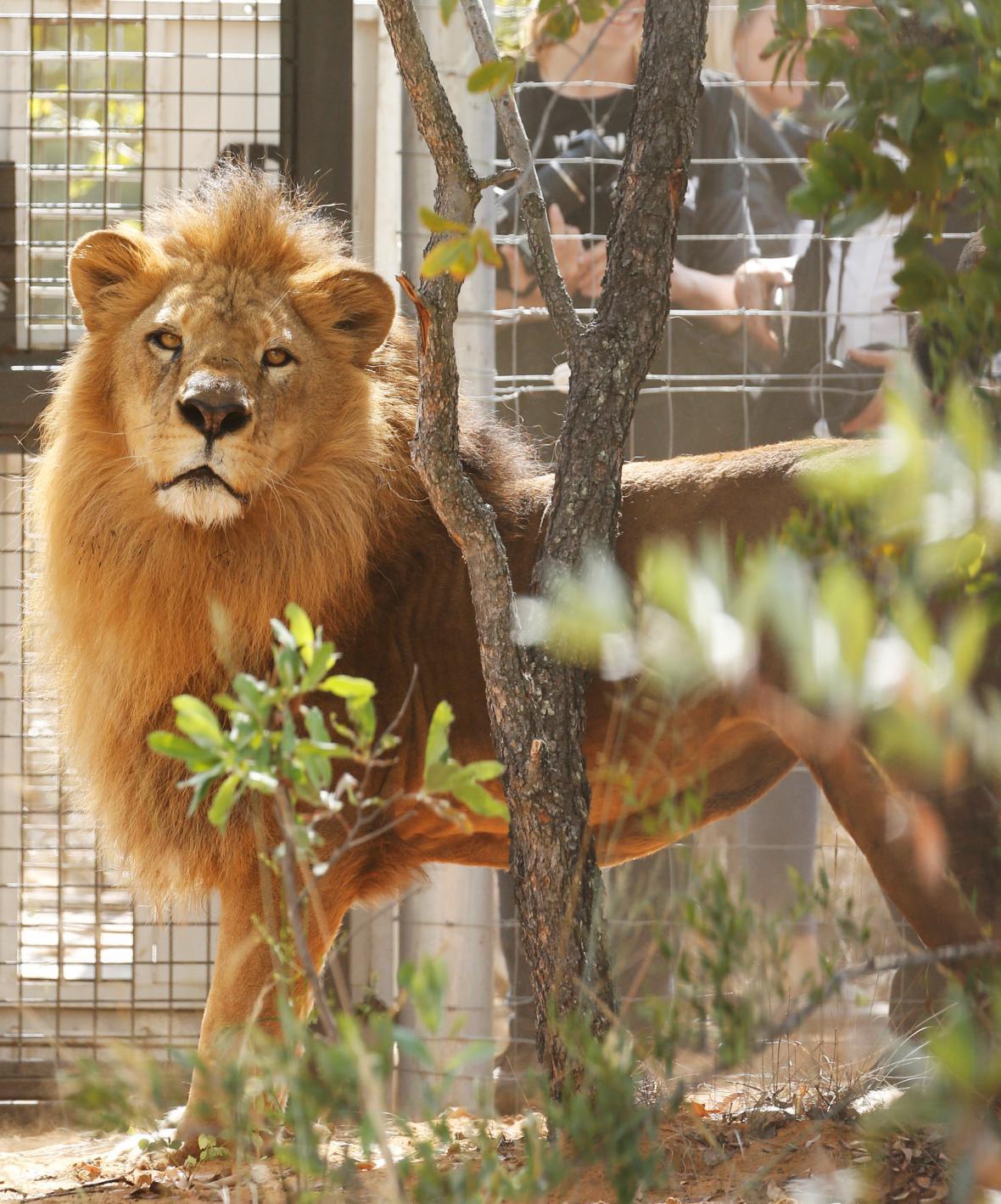 Návrat lvů do Afriky