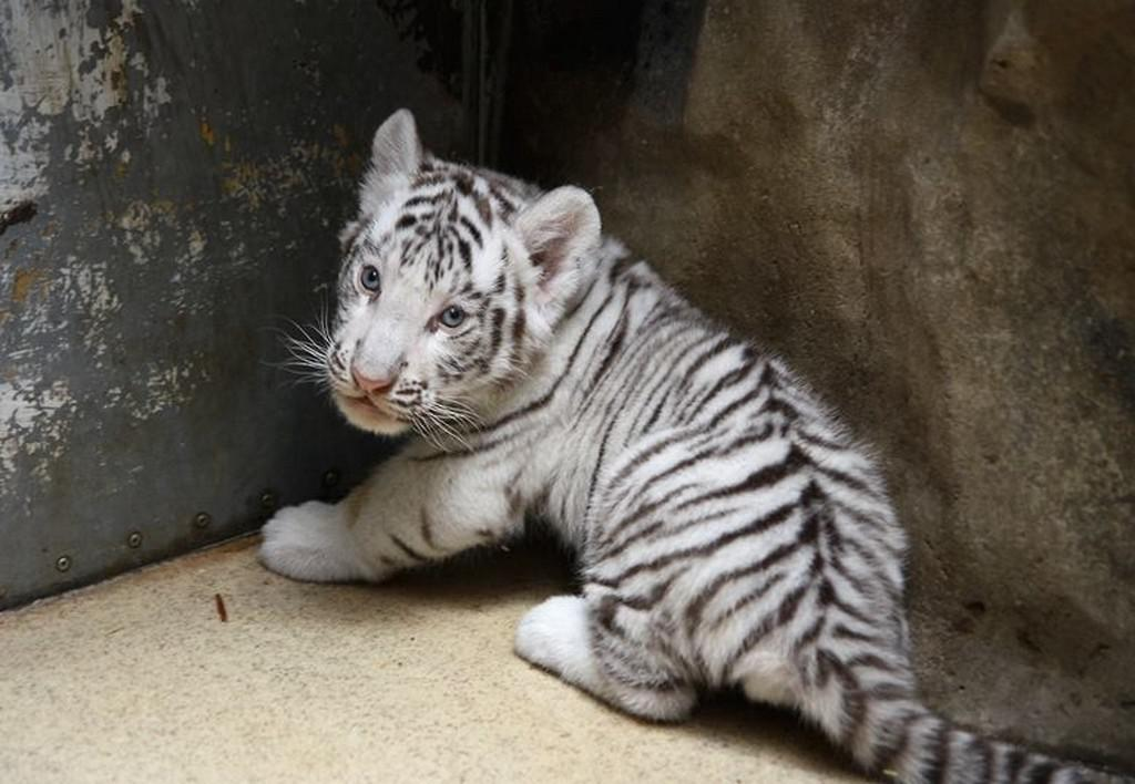 Mláďata bílých tygrů v Zoo Liberec