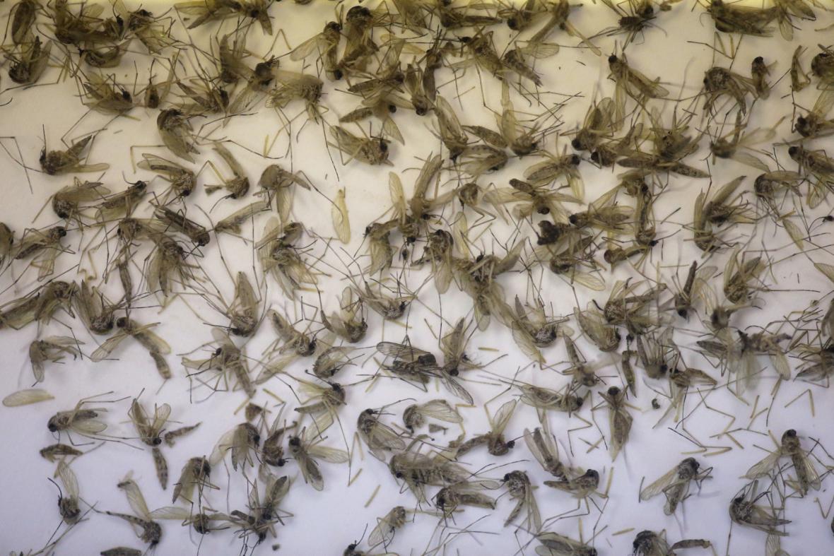 Komáří druhy Culex quinquefasciatus a Aedes aegypti