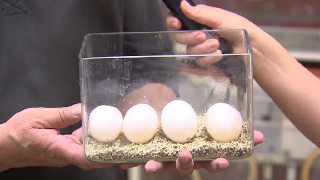 Krokodýl mořský v Protivíně nakladl vejce.