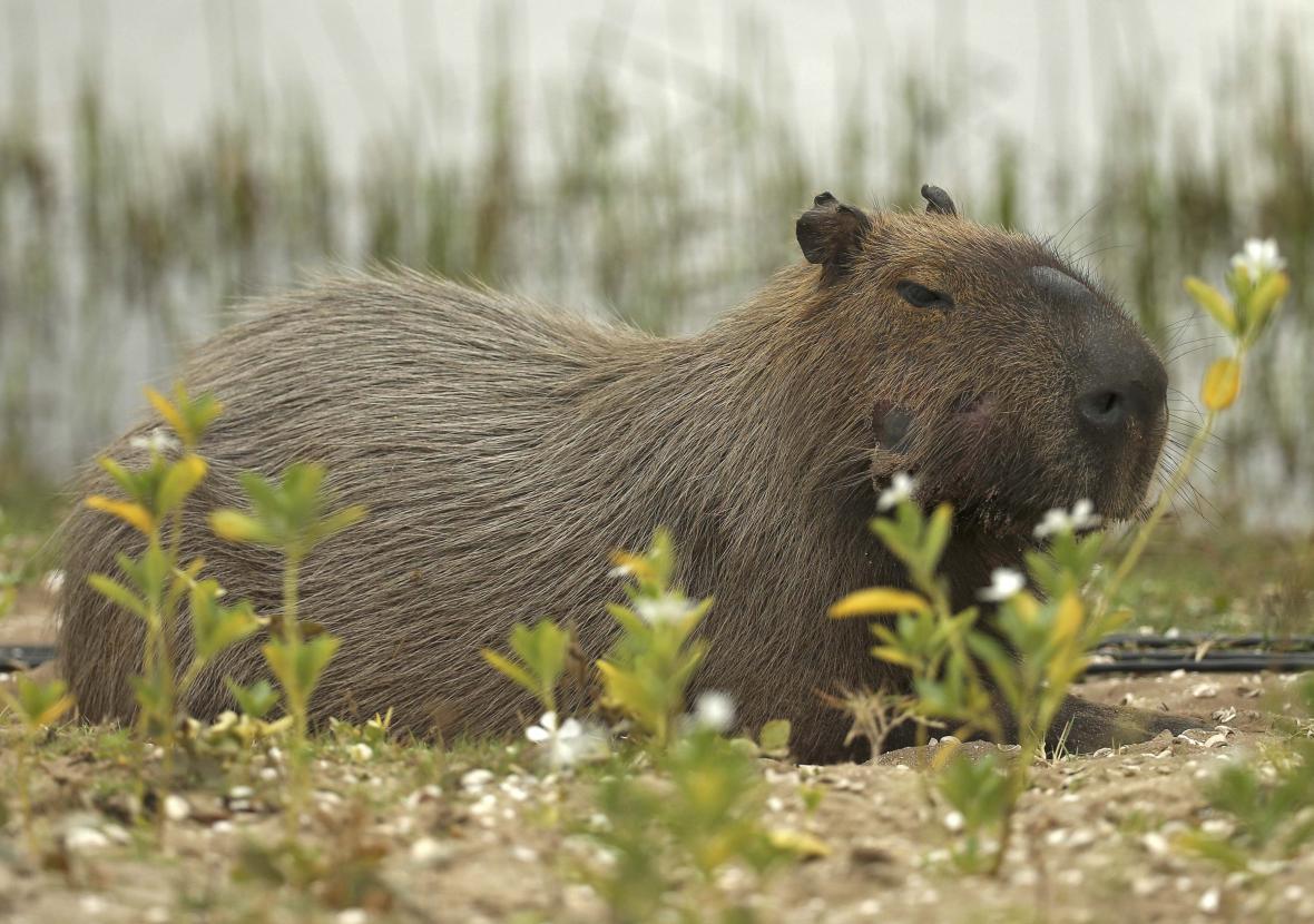 Hlodavec kapybara zavítal na olympijské golfové hřiště
