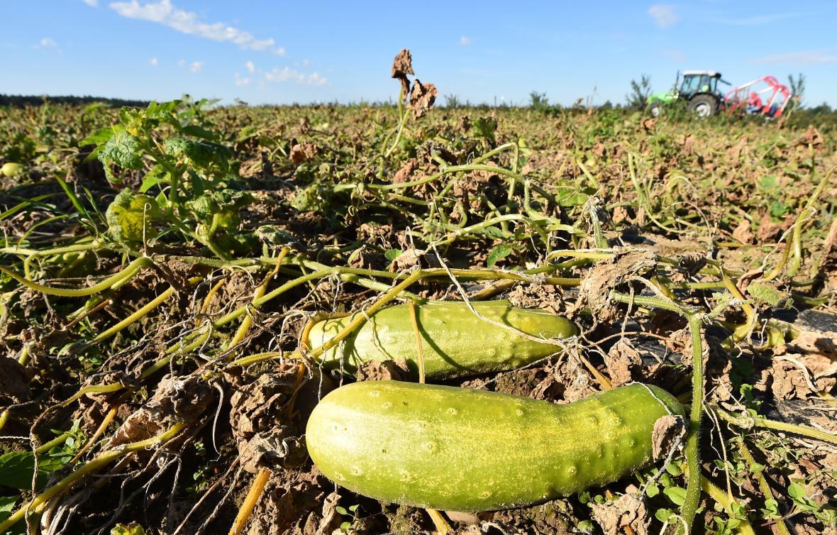 Nevyhovující kusy mohou zemědělci nabídnout potravinovým bankám