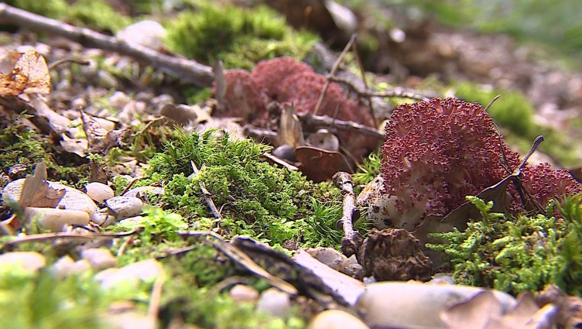 Netradiční houby, které je možné najít na Znojemsku