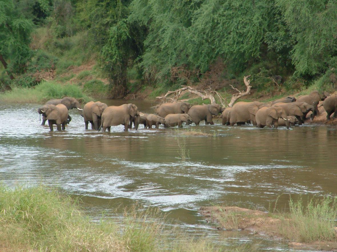 Afričtí sloni jsou v ohrožení