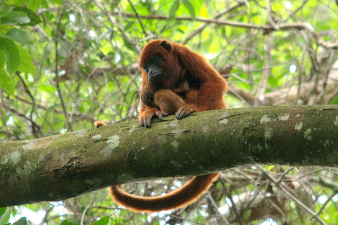 Obyvatelé mizející Amazonie - vřešťan rezavý