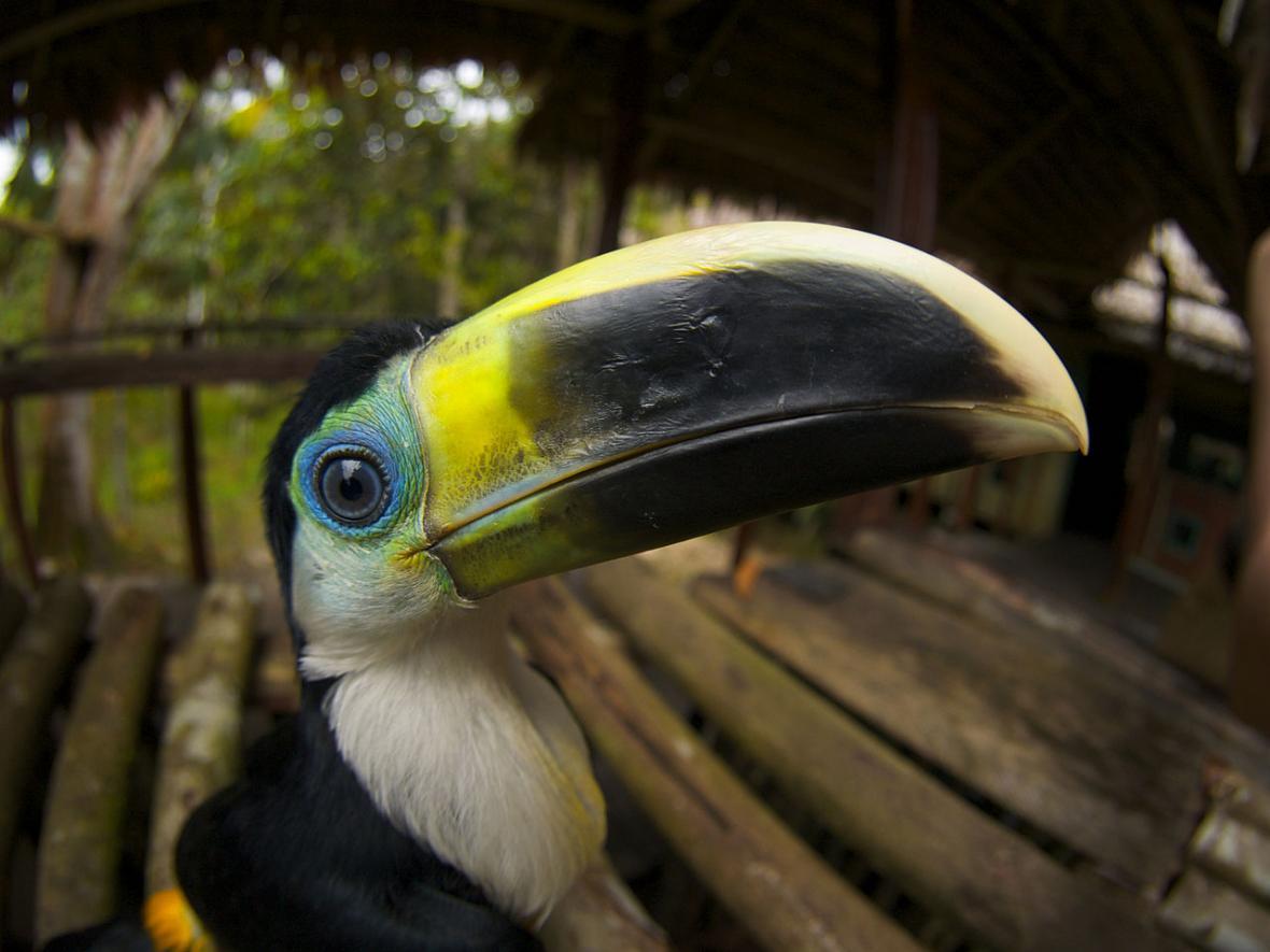 Obyvatelé mizející Amazonie - tukan bělolíci