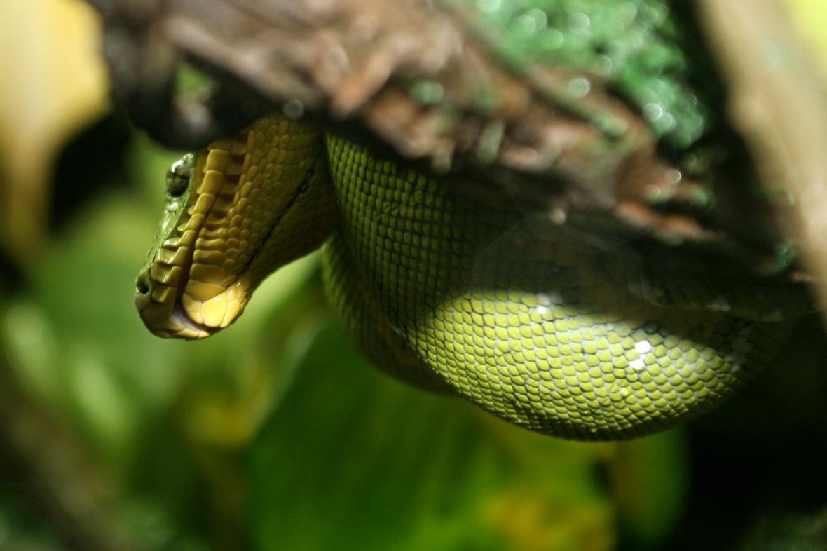 Obyvatelé mizející Amazonie - psohlavec zelený