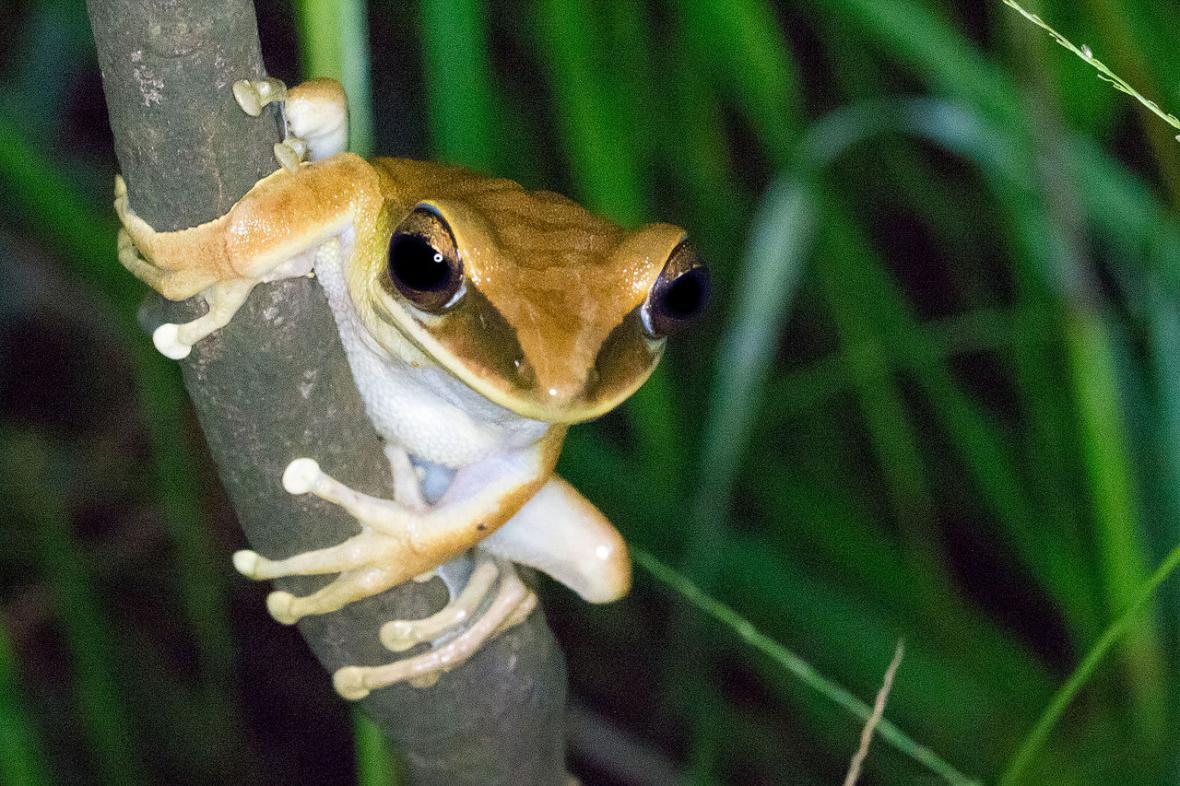 Obyvatelé mizející Amazonie - rosnička Hypsiboas_lanciformis