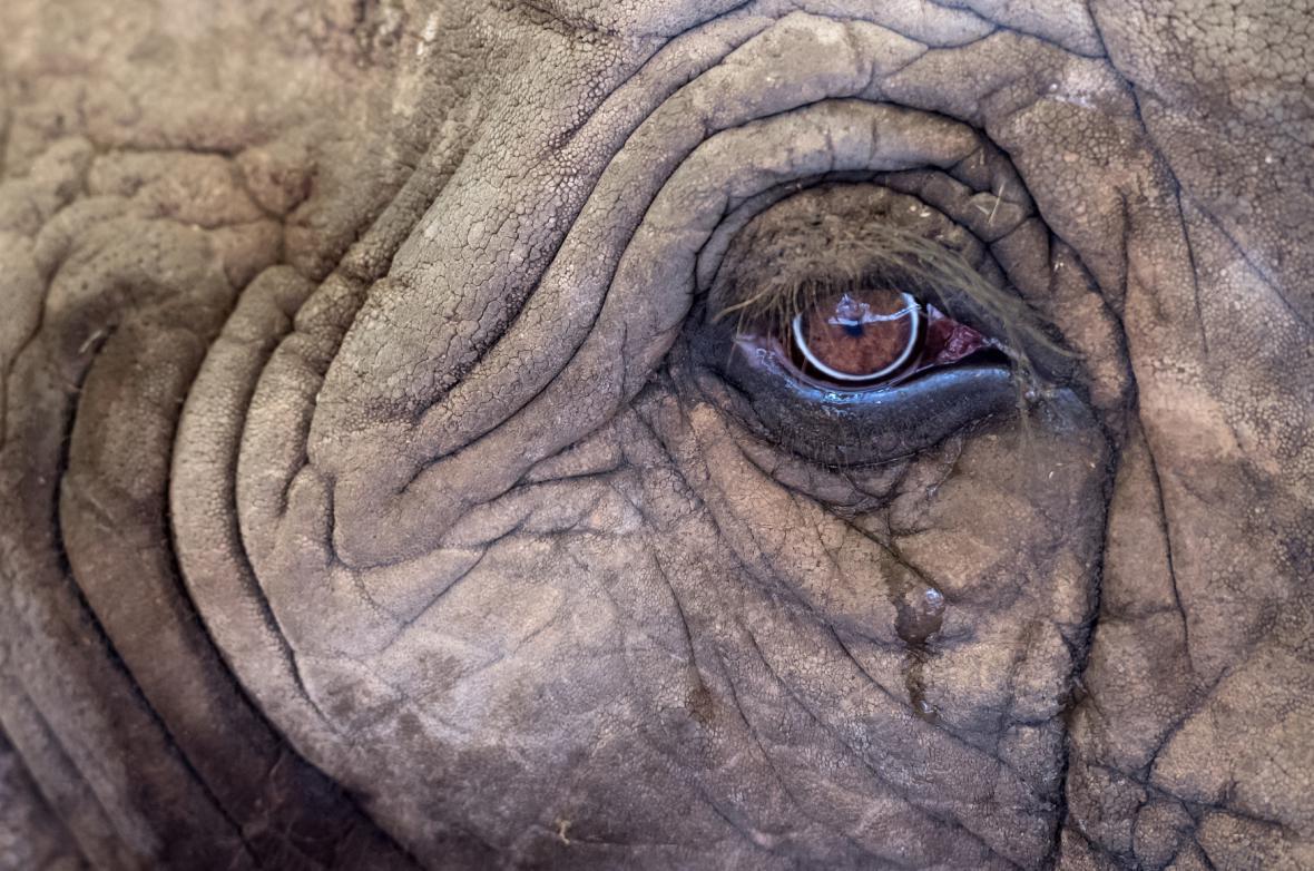 Sloní oko