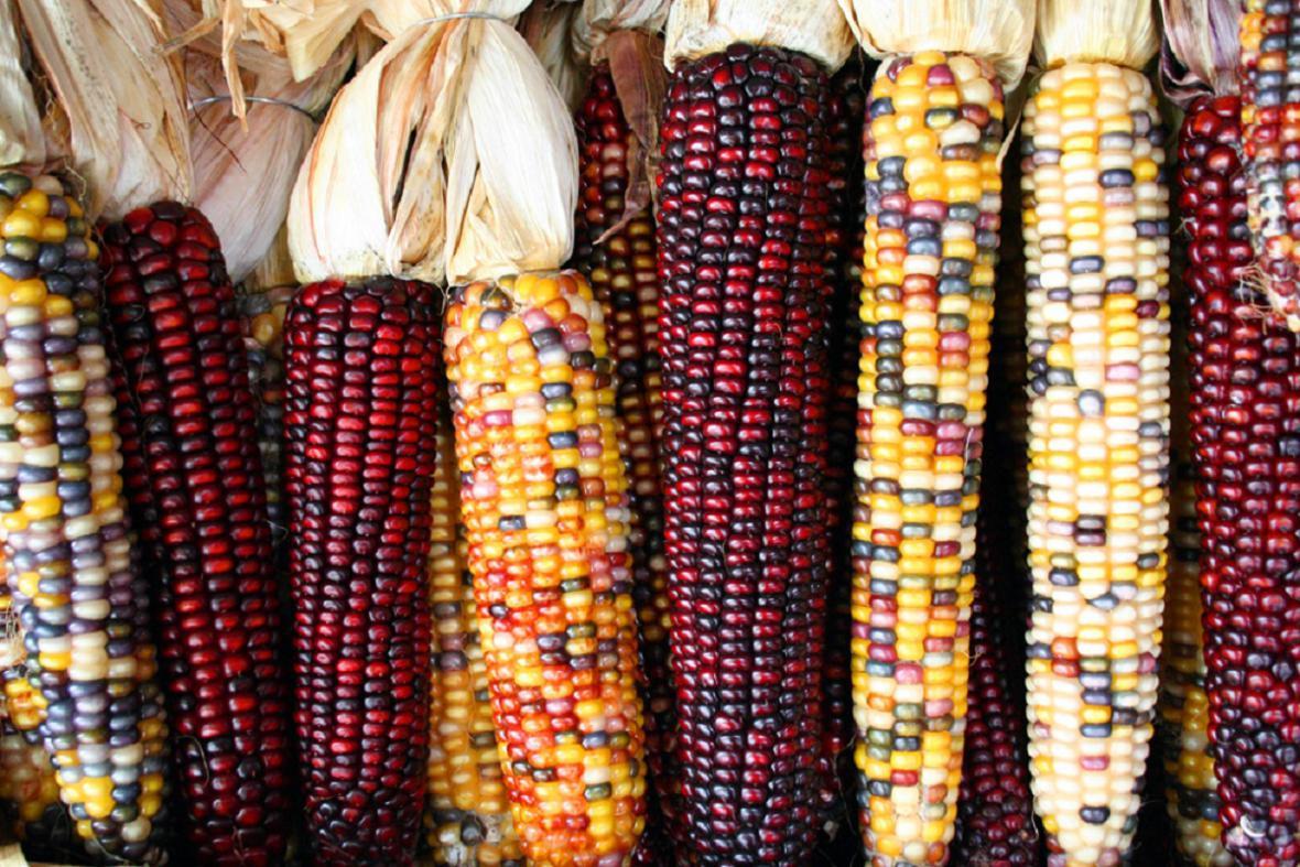 Kukuřičné klasy, ilustrační foto