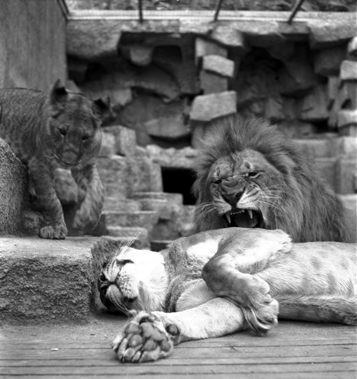 Zoo Praha na historických snímcích - výběh tygra (1949)