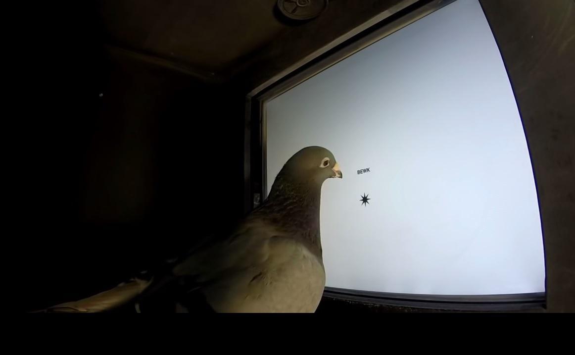 Čtoucí holub