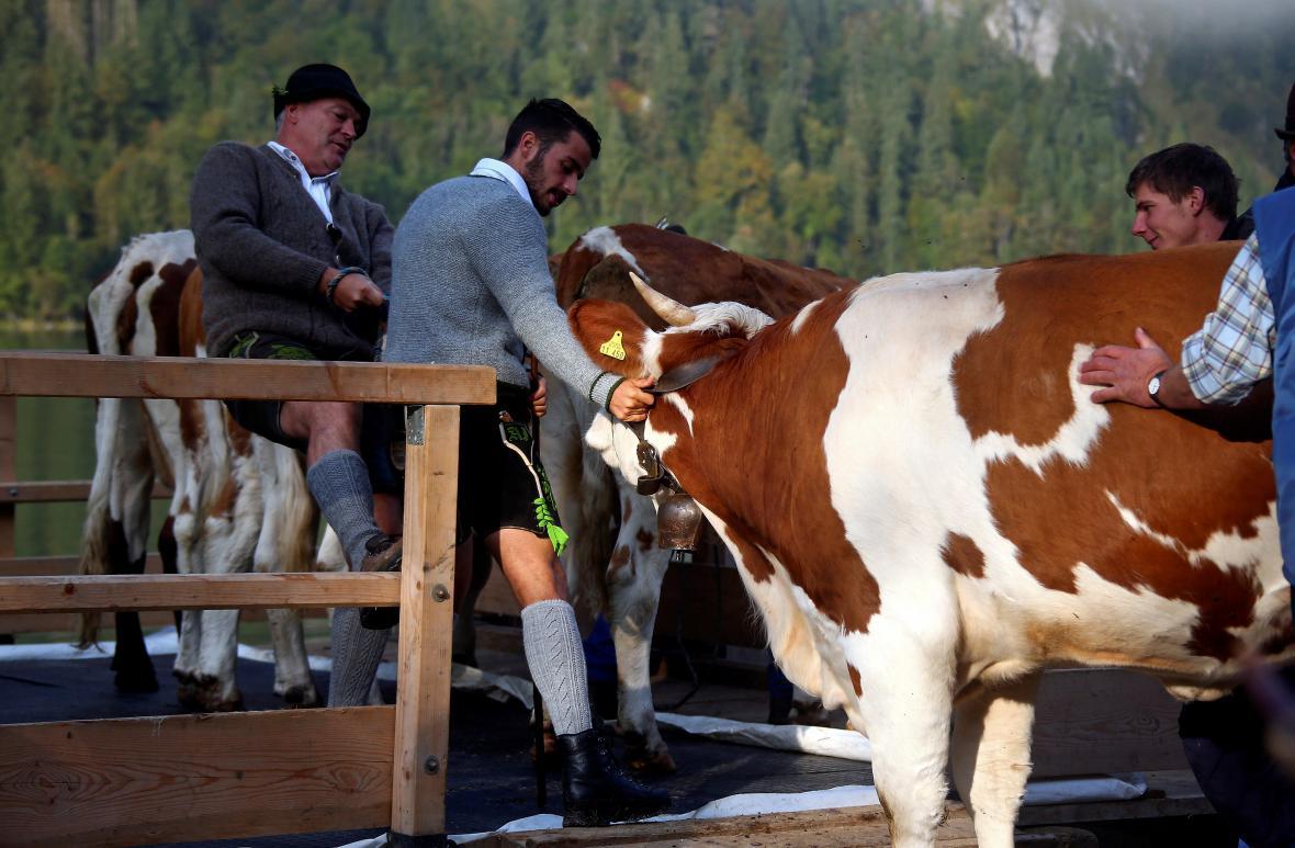 Krávy se vrací z pastvin po Königsee