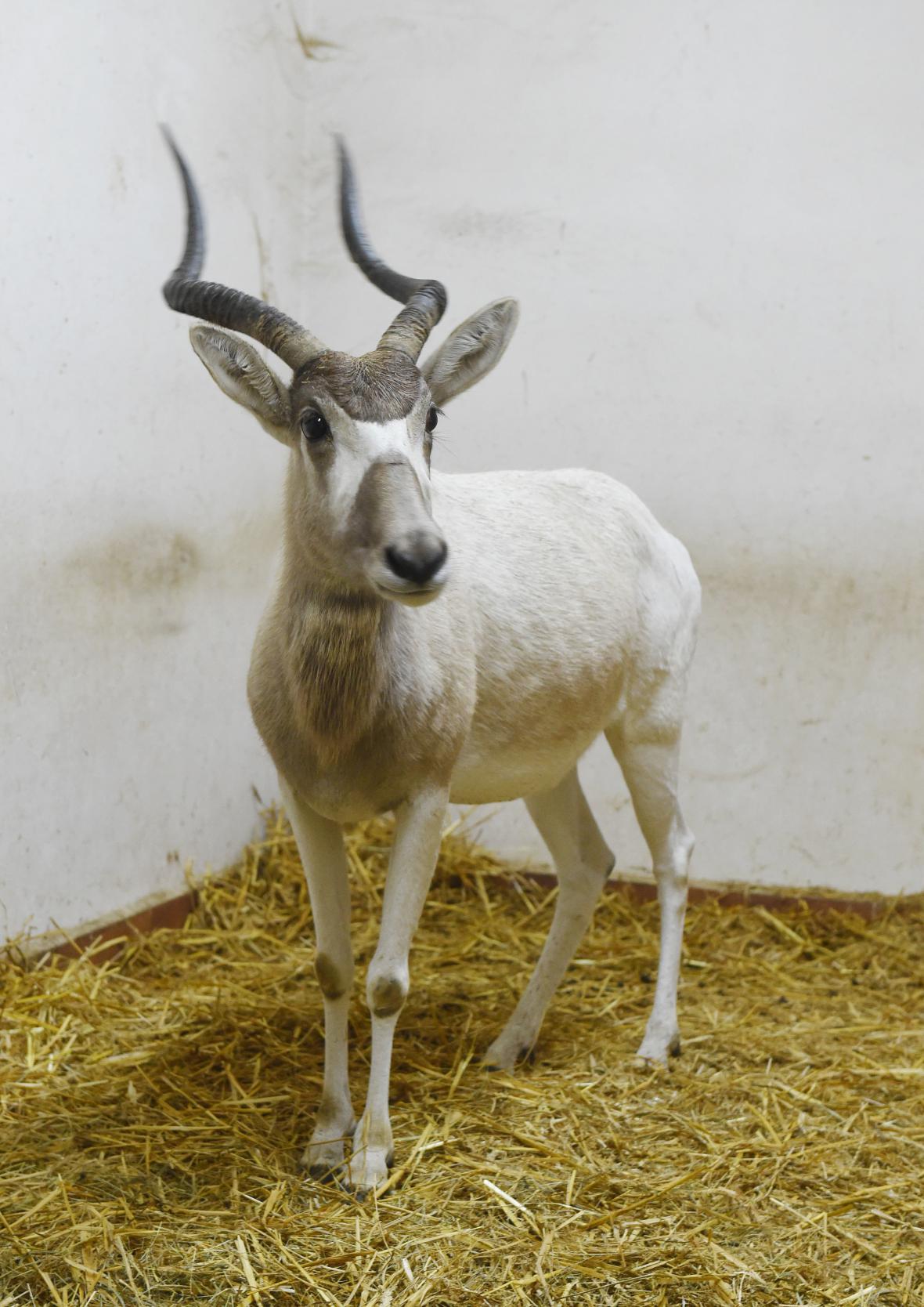 dvojice samic kriticky ohrožených pouštních antilop adaxů núbijských