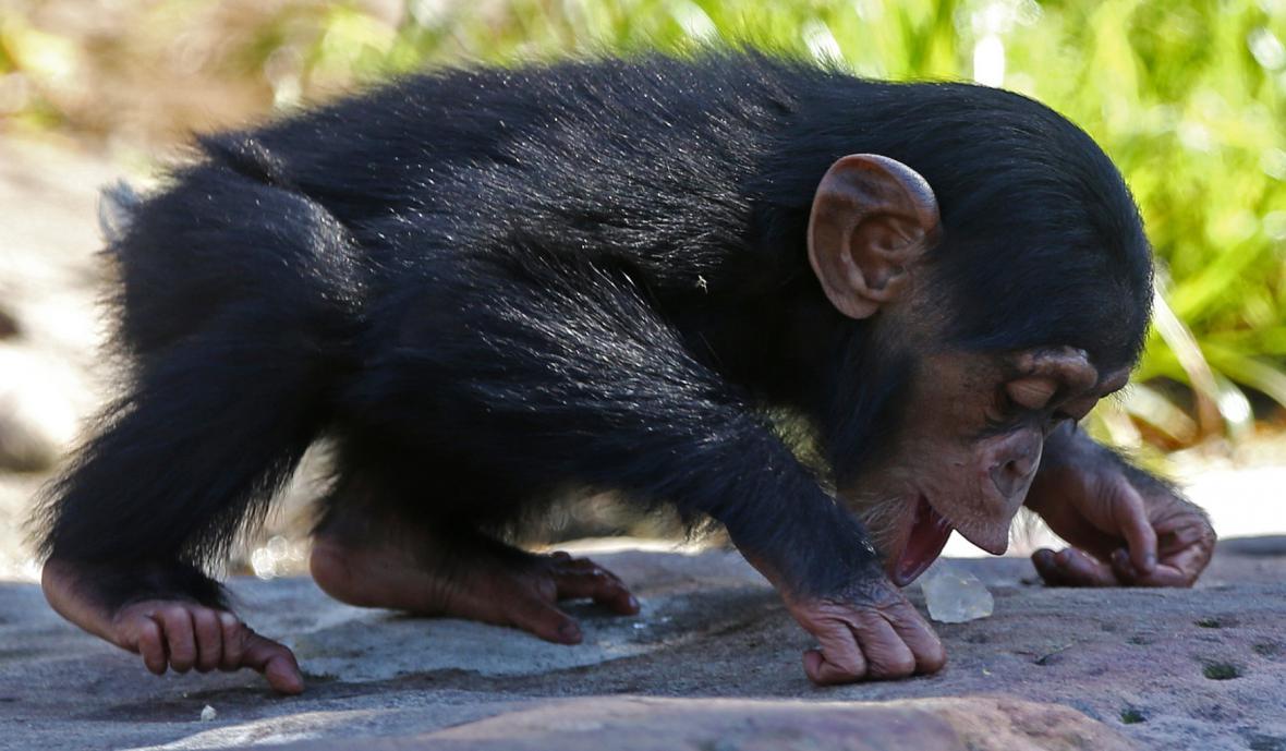 Mládě šimpanze