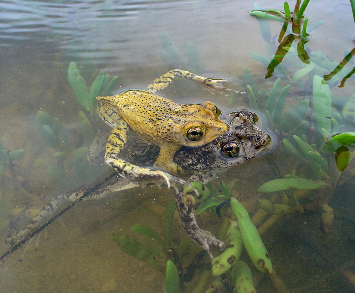 Ohrožené žáby