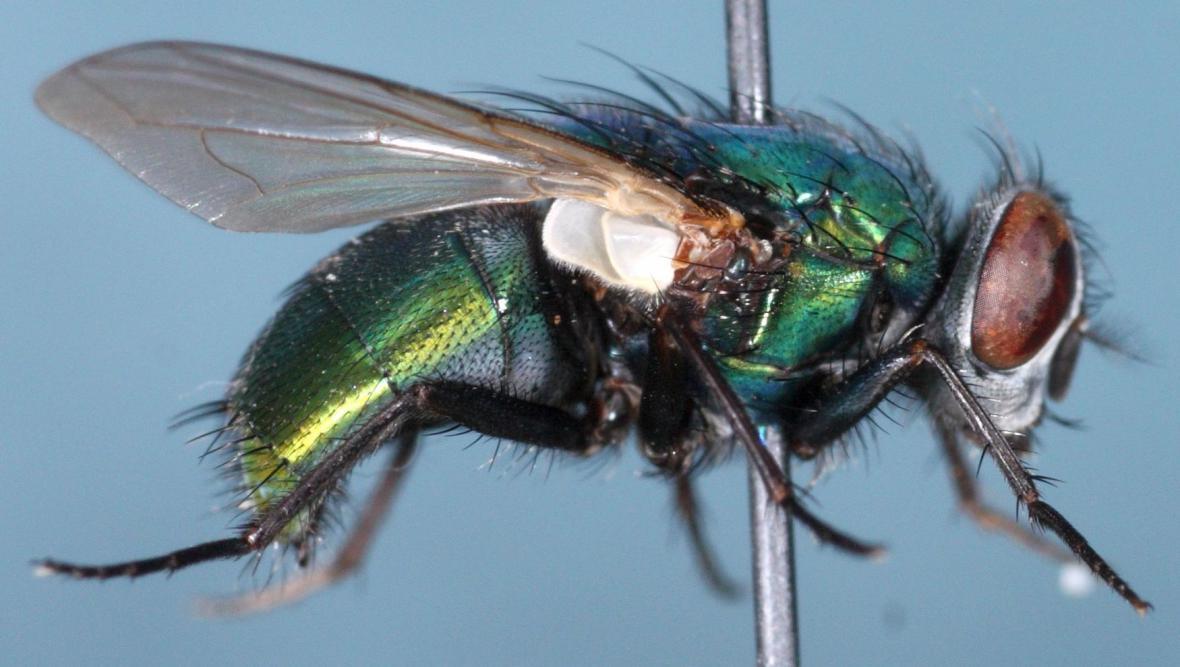 Bzučivka zelená - moucha s léčivými schopnostmi