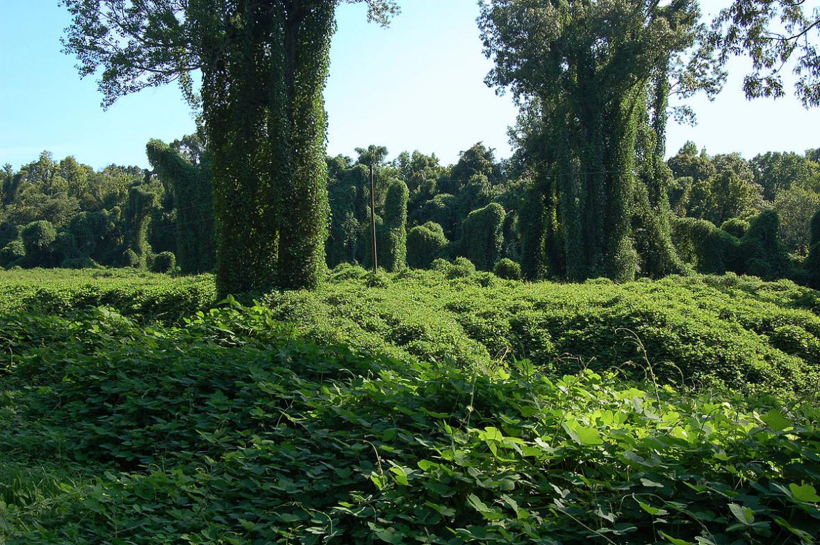 Puerarie laločnatá dobývá Severní Ameriku