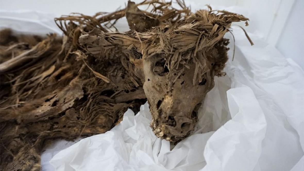Psí mrtvola stará 1000 let