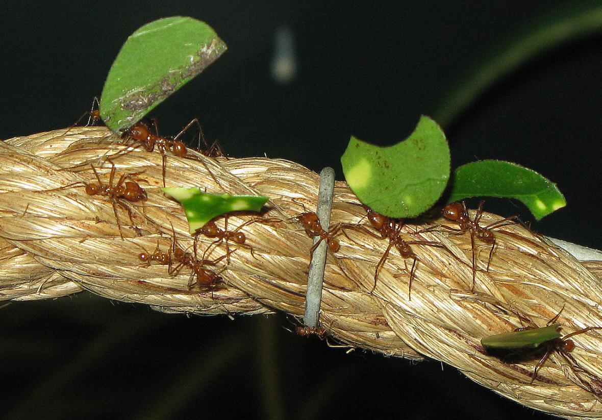 Mravenci Atta