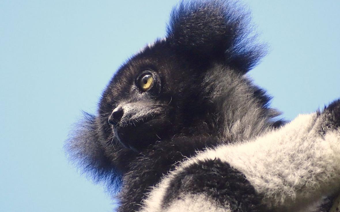 Lemuři indri