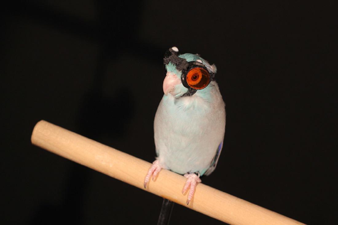 Olie, pokusný papoušek