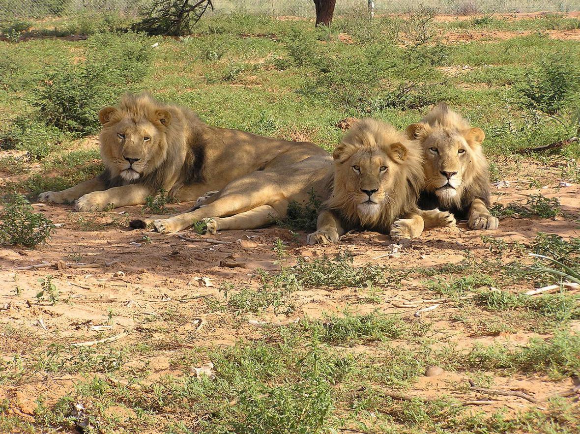 Lvi v přirozeném prostředí