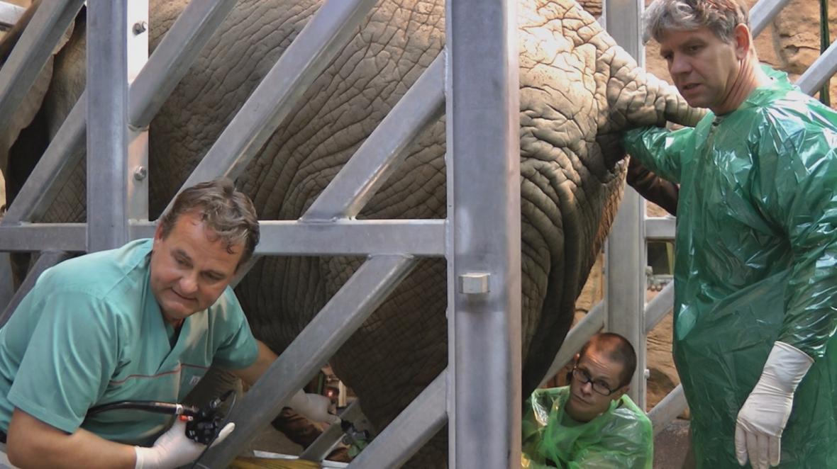 Umělé oplodnění samice slona afrického Zoly