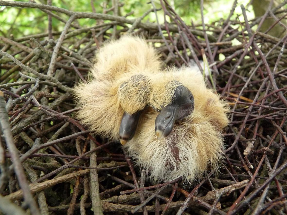 Hnízdo holubce hřivnáče