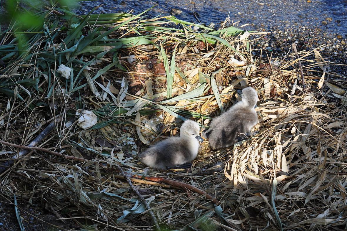 Hnízdo labutě velké