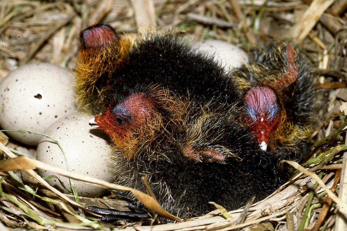 Hnízdo lysky černé