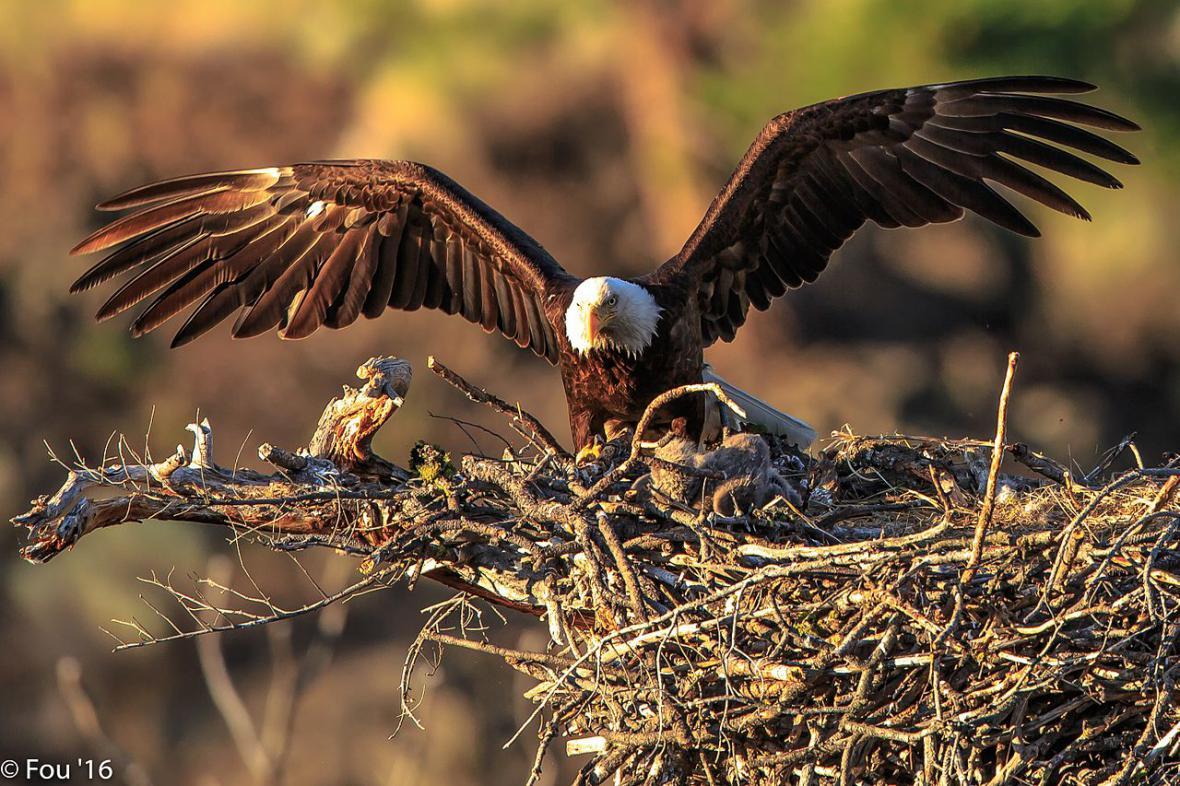 Hnízdo orla bělohlavého