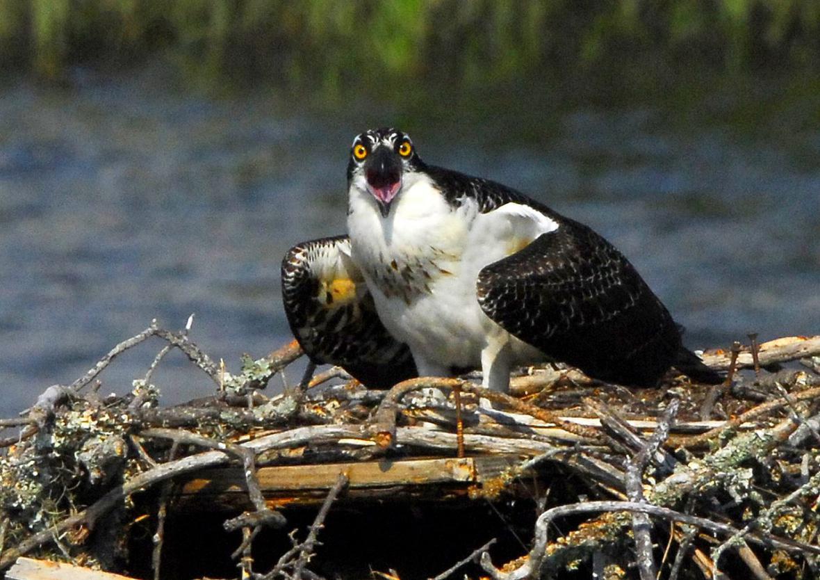 Hnízdo orlovce říčního
