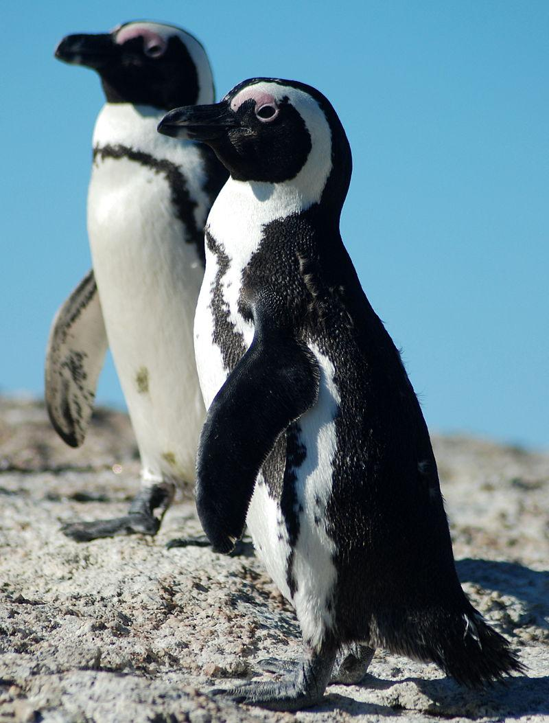 Tučňáci brýloví