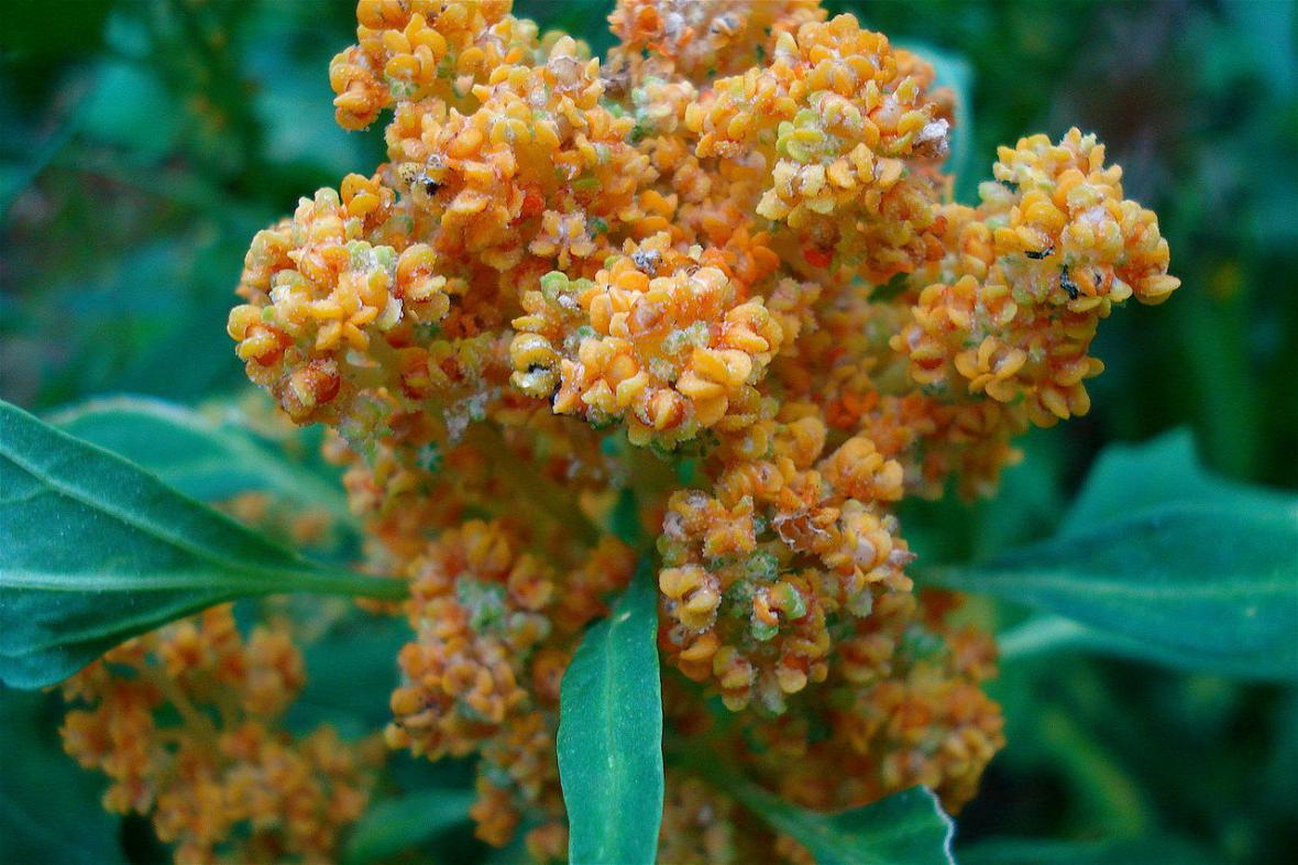 Kvinoa, květ